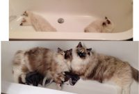 Pictures Of Ragdoll Cats In Bathtubs with regard to size 1645 X 1342